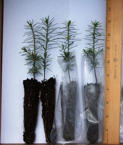Balsam Fir Plug Seedlings From The Evergreen Nursery On