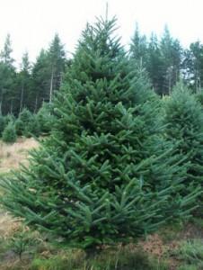Christmas tree-Fraser fir
