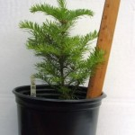 Potted Balsam Fir