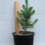 Potted Blue spruce