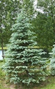 Christmas tree-blue spruce