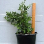 Potted White Cedar