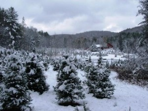 Christmas trees in winter