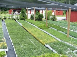 Evergreen seedlings outside