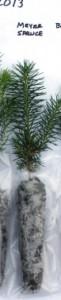 Meyer spruce seedling