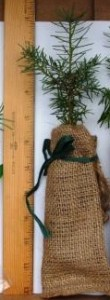 Balsam fir in burlap bag with gren raffia