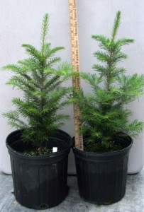 Balsam firs in three gallon pots
