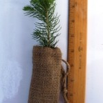 Blue spruce in a burlap bag.