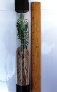 Blue Spruce in tube