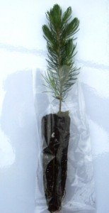 Blue spruce plug seedling  in a clear bag