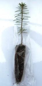 Canaan fir plug seedling