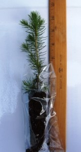 Norway spruce seedling in a clear bag