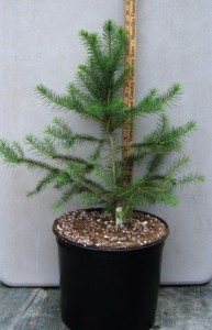 Norway spruce in a three gallon pot