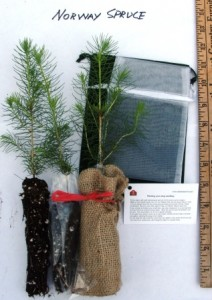 Norway spruce seedlings with possible packaging