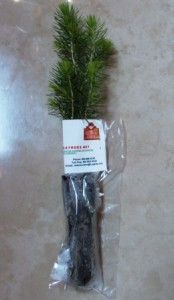 Norway spruce with planting card attached