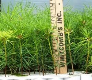 White pine seedlings