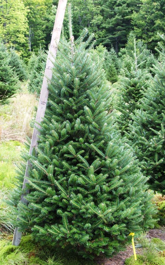 Beautiful Christmas Trees Redrock Farm