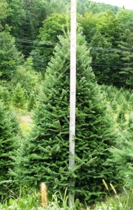 7 FT BALSAM FIR