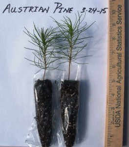 Austrian pine one year old