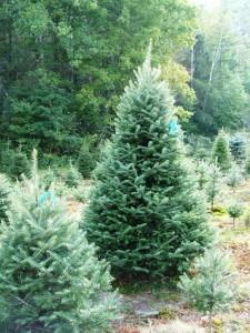 7 foot premium balsam fir